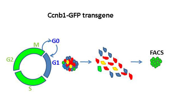 The Ccnb1-GFP transgene allows for the isolation of live replicating cells