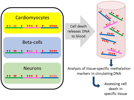 Non-invasive detection of cell death in the human body