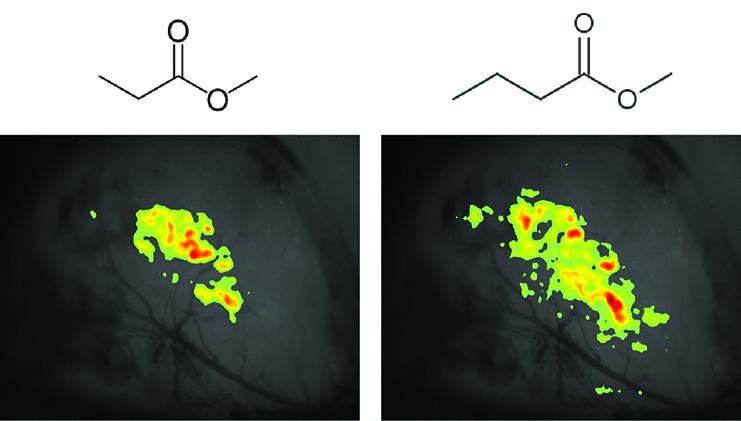 The sensory representations of 2 odorants as measured using in vivo Ca++ imaging. The figure shows the spread of activation over the olfactory bulb surface