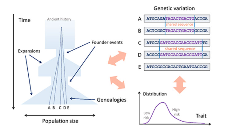 The goal of the research is to use genetic variation to improve our understanding of historical demographic events, the genetic basis of traits, and their interplay.
